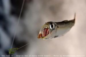 عکس از محمدرضا توجه// ماهیگیری در دریای کاسپین